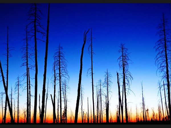 Burned down Woods at Sunset - USA - Grand Canyon North Rim